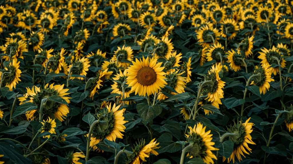 Sunflowers in a field: positive visualisation